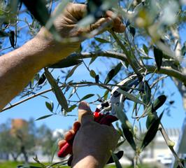 Pruning olive tree of apulia. against Xylella