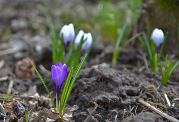 April crocuses in the Moscow region.
