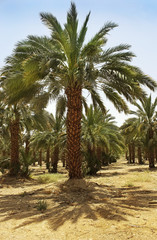 plantation of date palms in Israel