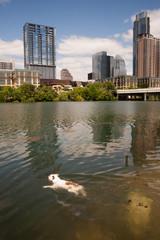 American Bulldog Swims in Colorado River Downtown Austin Texas
