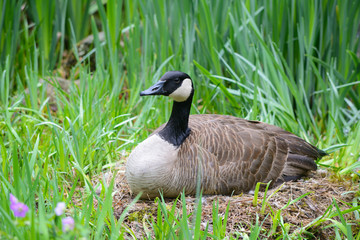 Canada Goose sitting on her nest