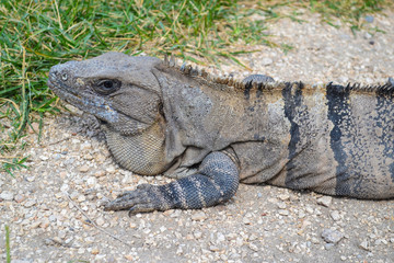 An iguana basking in the sun, close-up