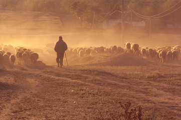 Shepherd with flock of sheep at sunset