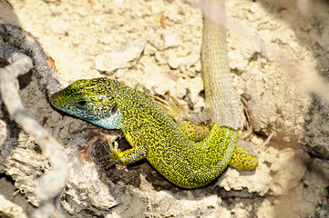Balkan green lizard