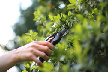 Fototapeta Trzmielina, przycinanie roślin obraz