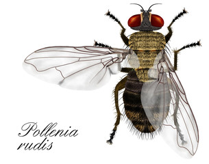 pollenia rudis, fly