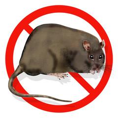 rattus norvegicus, rat