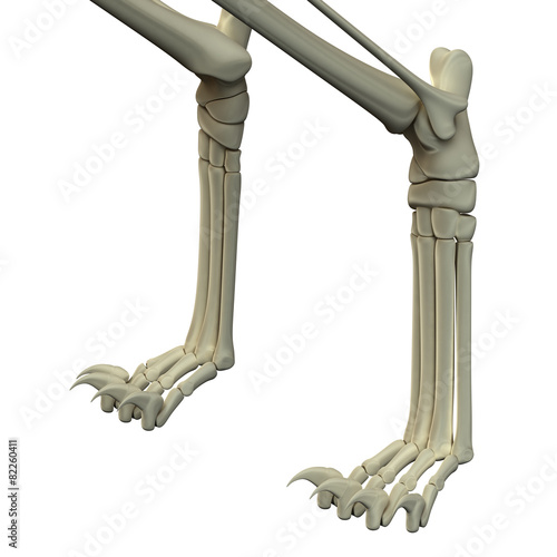 Cat anatomy bones