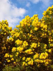 Acacia Tree Victoria Australia