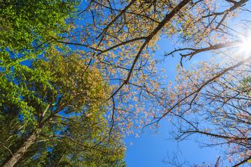 Wild Himalayan Cherry tree spring blossom