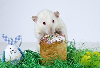Cute little rat.