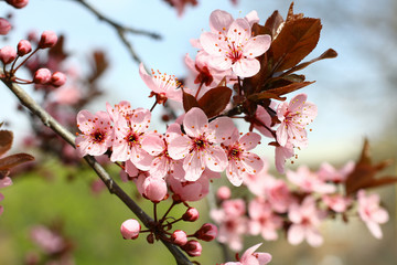 Spring blooming plum flowers.