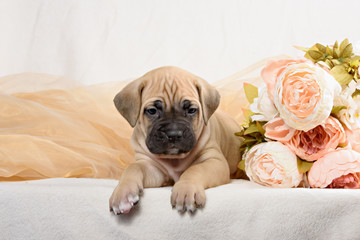Cane Corso puppy with a bouquet of flowers peonies