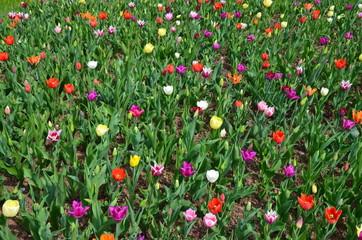 Blumenbeet mit Tulpen