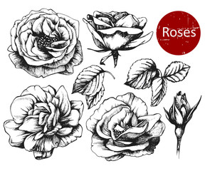 Set of highly detailed hand drawn roses. Vector