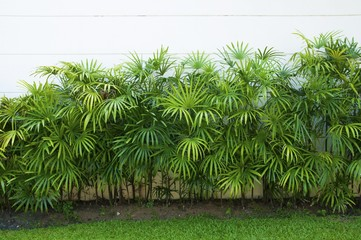 Green  leaf of bamboo palm or lady palm in the garden