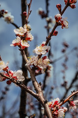 Flowers of a tree of an apricot