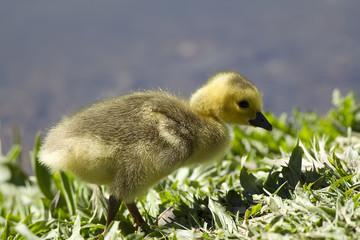 Gosling walking.