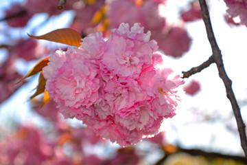 Plum blossom, Kyoto, Japan