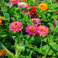 background of beautiful flowers zinnias