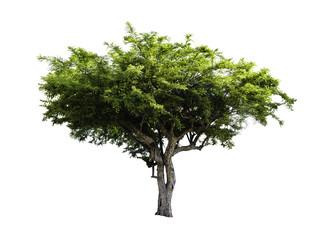 Amla Fruit tree isolated