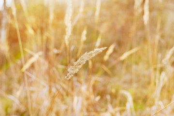 dry blade of grass in the sunset light on a field, nature background, selective focus, shallow DOF