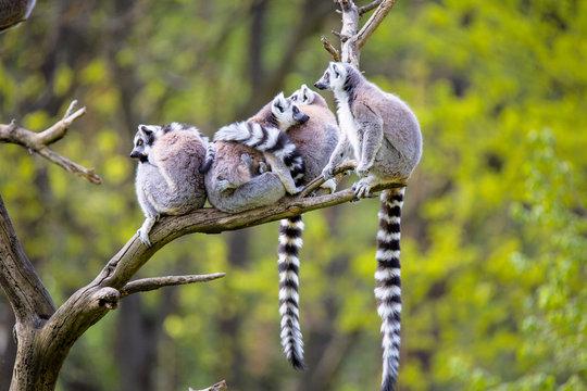 group on a tree Ring-tailed Lemur, Lemur catta,