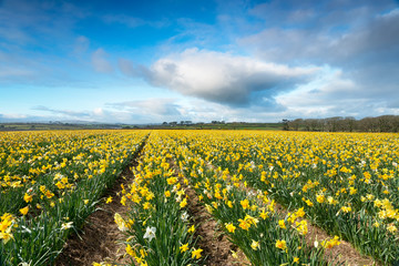 Wall Mural - Daffodil Fields