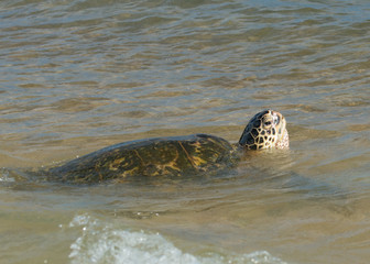 Green Turtle while breathing in Hawaii