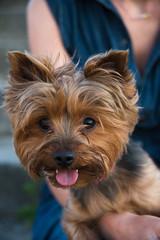 pretty yorkshir terrier