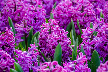 Group of beautiful purple hyacinths