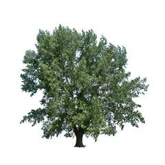 large poplar