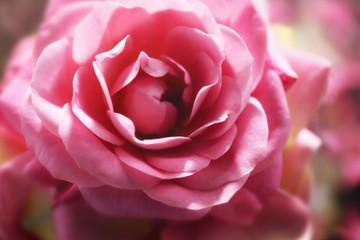 Beautiful pink rose, closeup