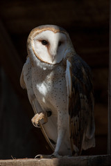 British Barn Owl
