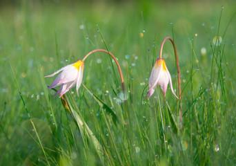 White tulips (Tulipa bibersteiniana)