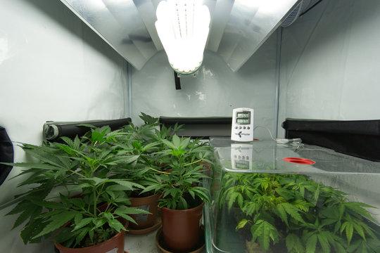 medical marijuana / cannabis plants - home growing