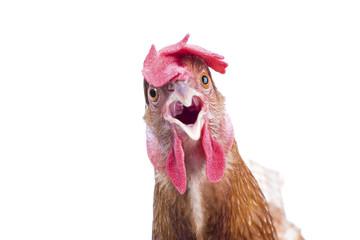 close up portrait full body of brown female eggs hen standing sh