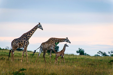 Family of three giraffes along the grassland plains in South Afr