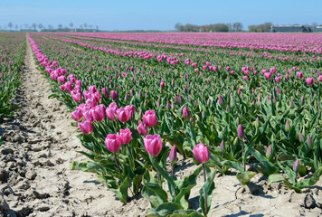 Mystical landscape with path in the midst of tulip fields of flo