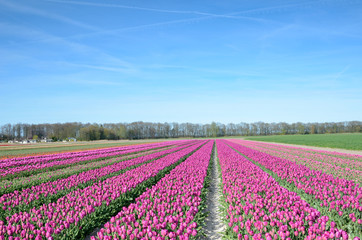 Tulips flowers in the middle of the tulips field oagainst the sk