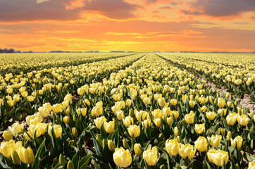 Wonderful landscape with a field of tulips flowers at sunset (re
