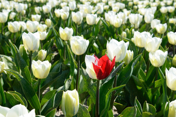 Bicolor tulip in the middle of the tulips field (loneliness, fea