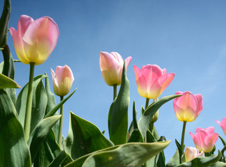 Beautiful flowers tulips against the sky (relaxation, meditation