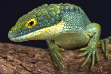Arboreal alligator lizard (Abronia graminea)
