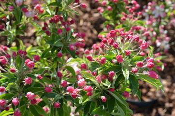 Zierapfelbäumchen blüht