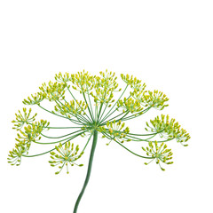 Dill Herb ( Anethum graveolens )