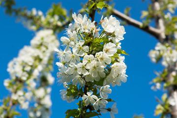 Blüten auf Kirschbaum