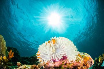 Anemonefish kapoposang Indonesia hiding inside anemone diver