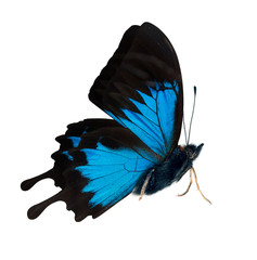 side view of bright blue butterfly