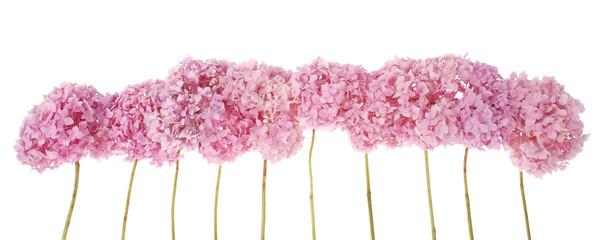 Foto op Canvas Hydrangea Pink flowers hydrangea (Clipping path)